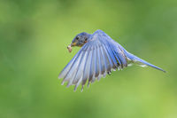 Eastern Bluebird in Flight