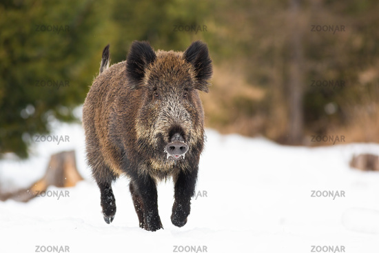 Wild boar sprinting on pasture in wintertime nature.