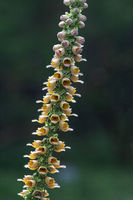 wooly foxglove (Digitalis lanata),Germany