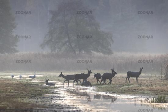 Red Deer herd wallows at pondside / Cervus elaphus
