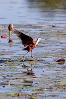 bird African jacana, Namibia Africa wildlife