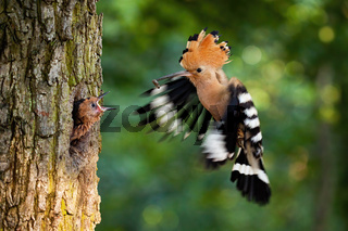 Eurasian hoopoe breeding in nest inside tree and feeding young chick