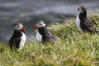 Atlantic puffin (Fratercula arctica), Papey Island