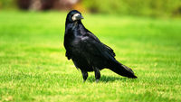 Eurasian rook ( Corvus frugilegus ) on green grass of lawn.