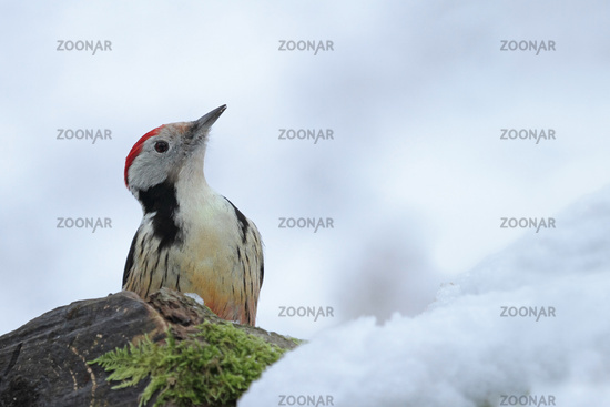 Middle spotted woodpecker (Leiopicus medius)