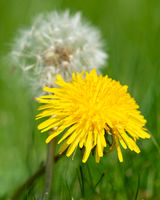Common dandelion, Taraxacum