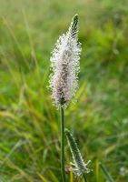 Hoary plantain in blossom