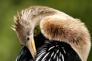 Anhinga grooming feathers