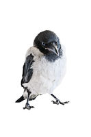 Crow chick cut out on white