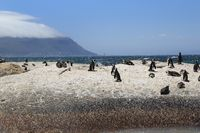 African penguins at Boulders Beach in Southafrica below the Table Mountain
