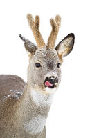 Roe deer licking in winter isolated on white background.