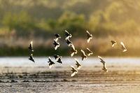 Starling flock of birds in backlight / Sturnus vulgaris