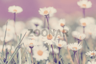 small daisy flower in spring garden
