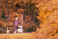 Unrecognizable woman seen from behind going on a walk with her leashed dog and a baby stroller in early morning with colorful tree foliage in autumn on a sunny day