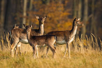 Calm fallow deer herd standing on meadow in autumn.