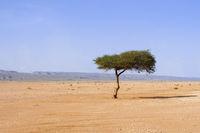 Single tree, acacia, in the Sahara, near the Lac Iriki salt lake, Morocco, Africa.