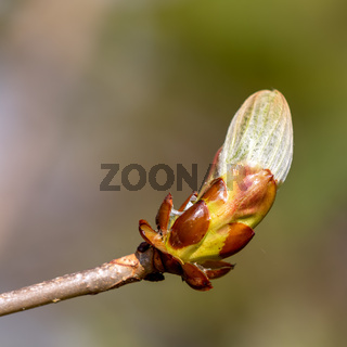 Sticky bud of the Horse Chesnut tree bursting into leaf