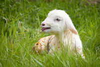 newborn lamb