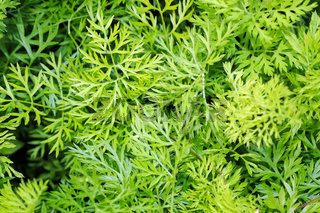 A background of green carrot top leaves