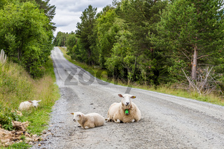 Sheep on the road in Norway