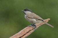 Marsh tit (Parus palustris)