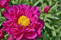 Beautiful pink Peony flower (Paeonia suffruticosa) close up in garden