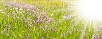 Panorama of a spring meadow with flowers and sun