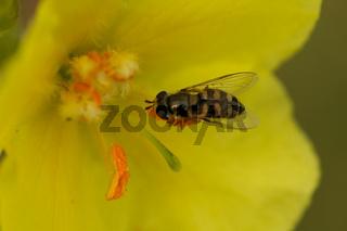 Gemeine Feldschwebfliege (Eupeodes corollae)