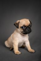 Cute Pug puppy dog sitting down looking at the camera
