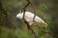 Sulphur crested cockatoo on a gum tree in bush land