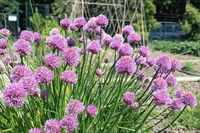 Dutch allotment garden with flowering chive plants and bean stakes