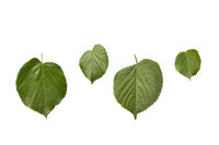 Plant set from fresh organic textured leaves of tilia tree on a white background.