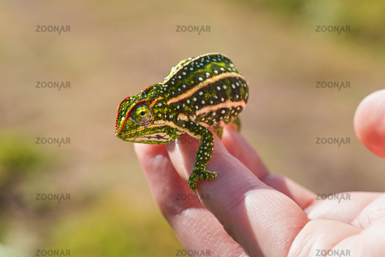 Tiny Jewelled Campan chameleon - Furcifer campani - resting on white man hand. Chameleons are endemic to Madagascar and can be seen in Andringitra National Park