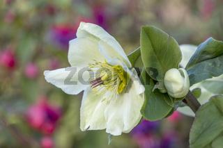 Christrose oder Schneerose (Helleborus)