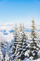 hill pine trees covered with snow