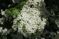 20200506_Crataegus monogyna, Eingriffliger Weißdorn, Common Hawthorn004.jpg