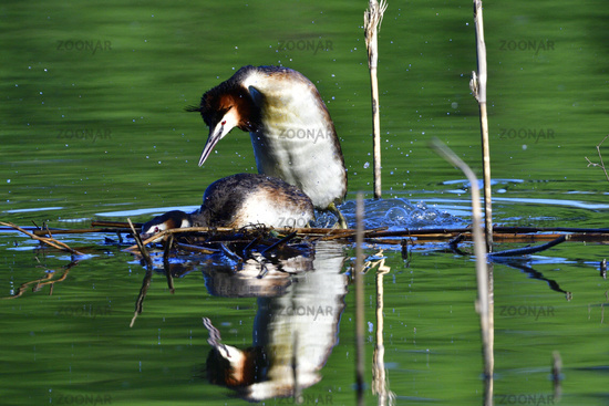 Great crested grebe in love
