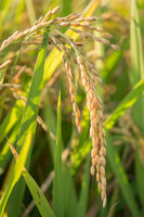 Close up to rice seeds in ear of paddy Lombardy