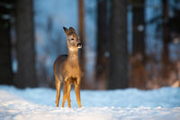 Roe deer doe standing on meadow in wintertime nature.