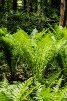 Large fernbush in shady woodlands portrait