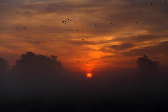 Migrating geese Havelluch, Brandenburg, Germany