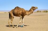 Hobbled camel