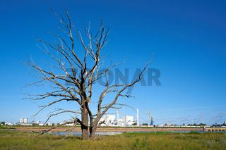 Toter Baum am Ufer der Elbe bei Magdeburg