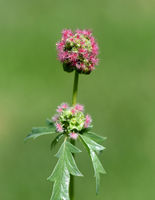 Kleiner, Wiesenknopf, Sanguisorba, minor