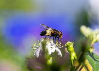 Macro of a pellucid fly