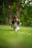 Running sheltie dog in a meadow