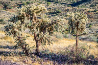 A Chain Fruit Cholla in Lost Dutchman SP, Arizona