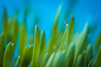 Fresh green wheat grass with drops of dew with blue backgroud macro photo