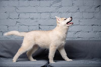 An active cheerful puppy of the age of two and a half months, a female of the light red husky breed is having fun in the living room on a gray sofa in a stylish apartment. Fawn siberian husky baby