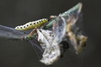 web moth caterpillar in a bush